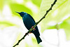 Red-Legged Honeycreeper