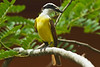 Great Kiskadee with lizard