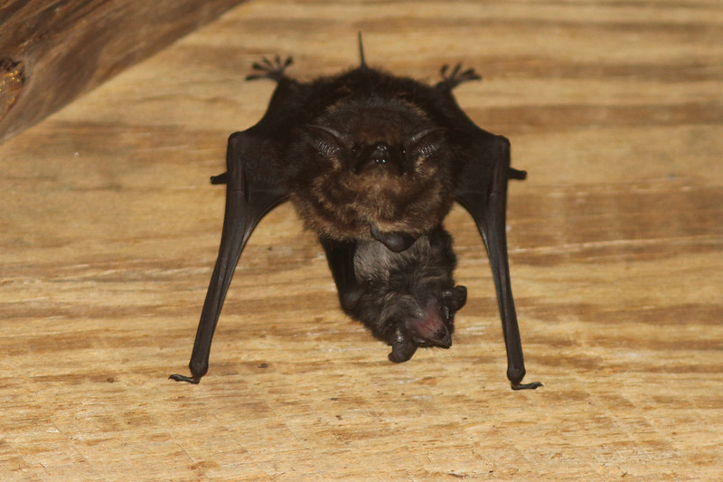Great White-lined Bat (??) with Pup