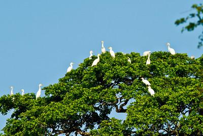 Cattle Egrets