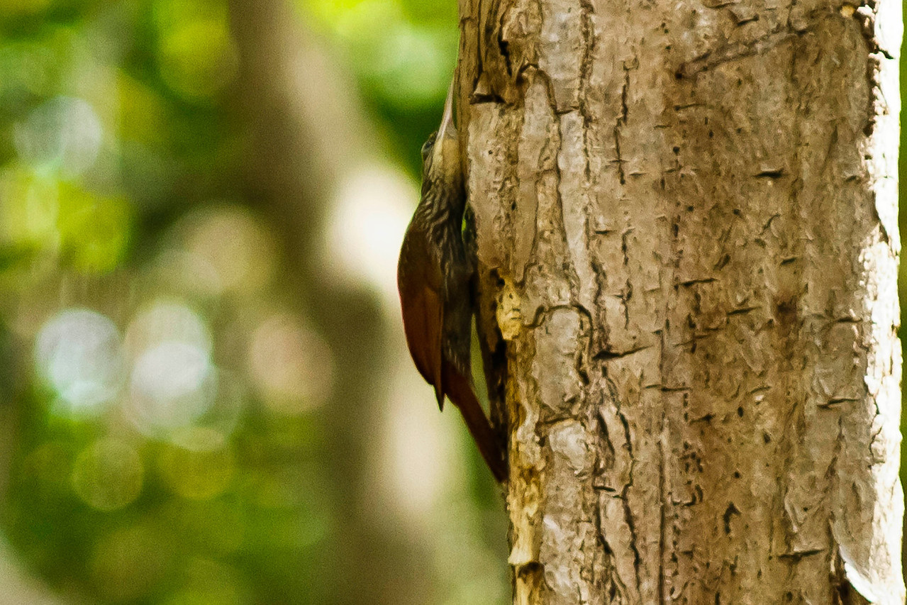 Tawny-Winged Woodcreeper listening for insects?