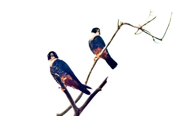 Belize - Mostly Birds