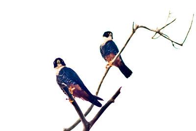 Bat Falcons