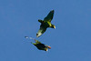 Yellow-lored Parrots