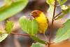 Mangrove (Yellow) Warbler