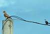 Tropical Mockingbird with Roadside Hawk