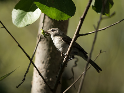 Least Bell's Vireo (Endangered) with insect at SBWR Haskel Creek, July 2, 2015.
