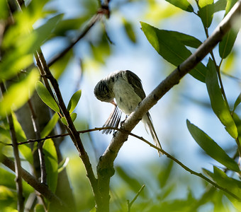 Least Bell's Vireo (Endangered) at SBWR Haskel Creek, July 2, 2015.