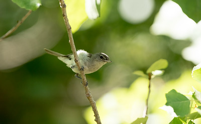 Least Bell's Vireo juvenile (Endangered) at SBWR Haskel Creek, July 2, 2015.