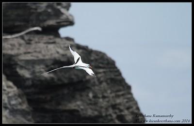 White-tailed Tropicbird (Longtail), Bermuda, April 2016