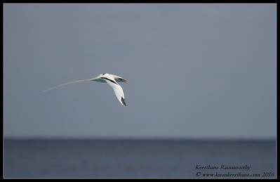 White-tailed Tropicbird (Longtail), Spittal Pond, Bermuda, April 2016