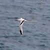 Bermuda Long Tail