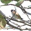 European Gold Finch