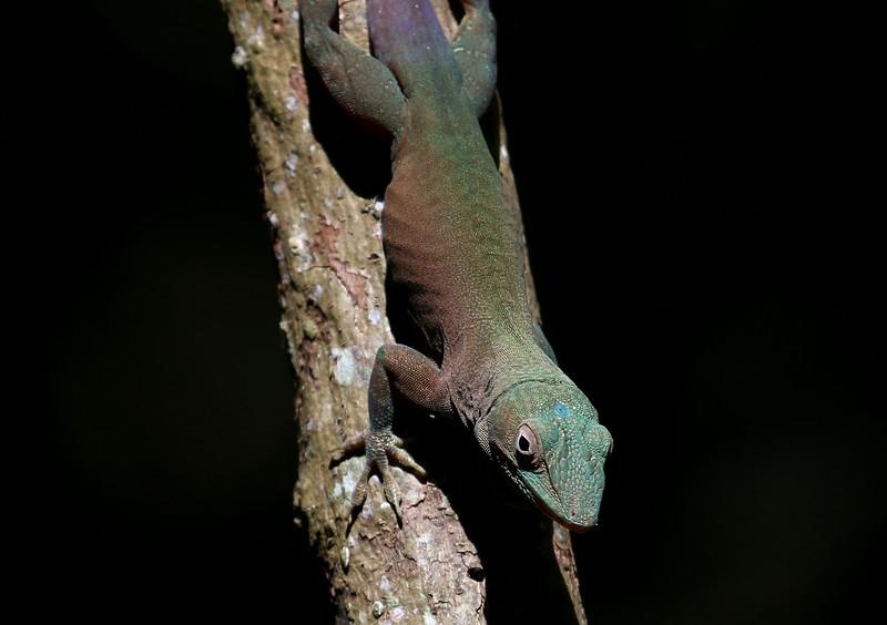 Jamaican Anole