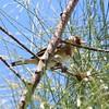 Euorpean Gold Finch