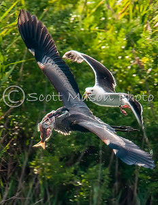 Great Blue Heron chased by Great Black Backed Gull