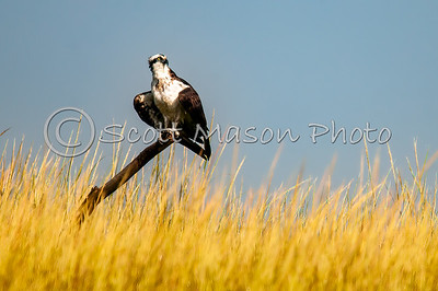 Osprey at Great Island, Old Lyme, Ct