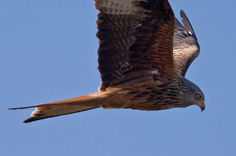 Röd Glada (Milvus milvus) Red Kite