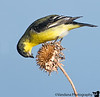 December 27, 2008 - The goldfinch poses.<br /> yes, there are other birds at Bosque del apache NWR !
