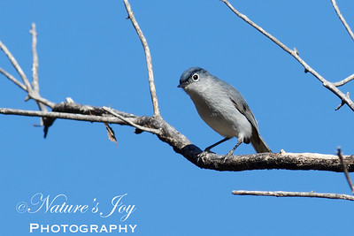 Blue=gray Gnatcatcher