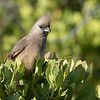 Speckled Mousebird (Hermanus )