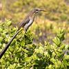 Cape Sugarbird (Hermanus 2017)
