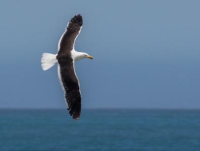 Kelp Gull (Hermanus )