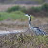 Black-headed Heron (Strandfontein)