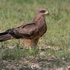 Black Kite (Kgalagadi)