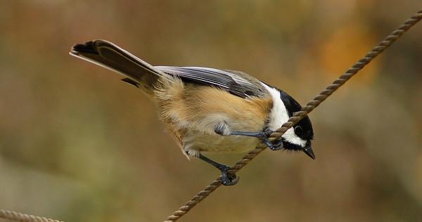 birch tree birds