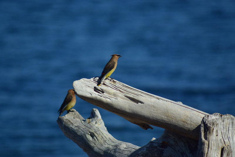 Cedar Waxwings on Driftwood