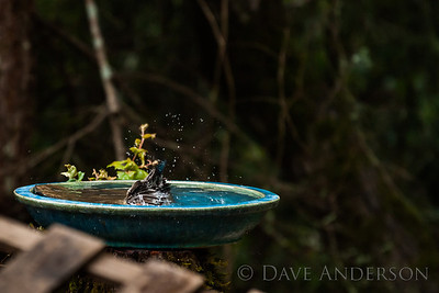 A robin in the birdbath I made from a ceramic bowl my mother gave me set onto a cut off oak stump.