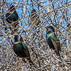 Shiny green and purple sheen on a flock of starlings