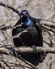 Glaring grackle