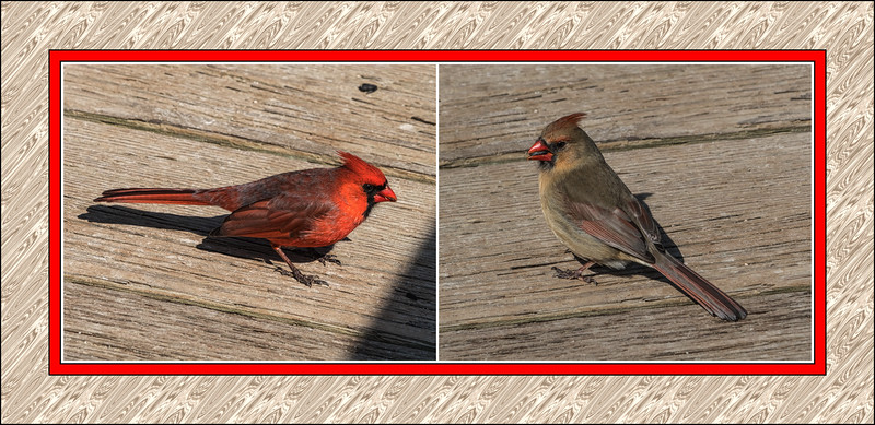 Male and Female Northern Cardinals (sc 2018-03-21)