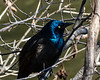 Common grackle flashing blue and purple hues