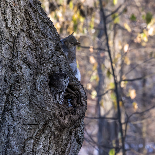 Stand-off Between a Screech Owl and a Squirrel