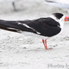 Black Skimmer <br /> Port Aransas beach <br /> Texas