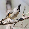 Black-crested Titmouse <br /> Santa Ana National Wildlife Refuge <br /> Rio Grande Valley Texas