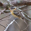 Black-headed Grosbeak <br /> Bentsen State Park <br /> Rio Grande Valley Texas