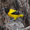 Audubon's Oriole <br /> Salineno <br /> Lower Rio Grande Valley Texas