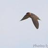 Cave Swallow <br /> Estero Llona Grande State Park <br /> Texas