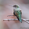 Broad-tailed Hummingbird <br /> Rocky Mountain National Park <br /> Colorado