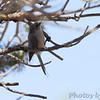 Bushtit <br /> Colorado National Monument