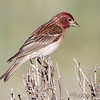 Cassin's Finch <br /> Rocky Mountain National Park <br /> Colorado