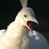 Albino peacock<br /> Professional Wildlife Photography by Christina Craft of the Nature Stock Photography Library