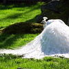 Albino Peacock in a park <br /> Professional Wildlife Photography by Christina Craft of the Nature Stock Photography Library