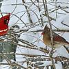 Northern Cardinal couple
