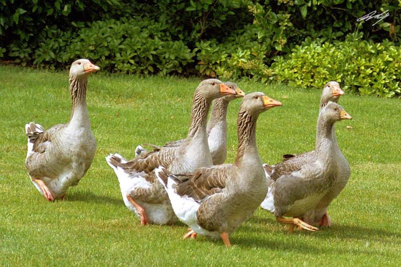 Graylag Goose, Dawson Creek Park, Hillsboro, Oregon.
