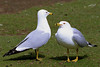 Ring-billed Gull, adult breeding, Pioneer Park, Walla Walla, Washington.